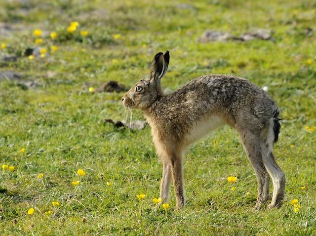 Brown hare stretching, Traigh nan Gilean dunes, Tiree