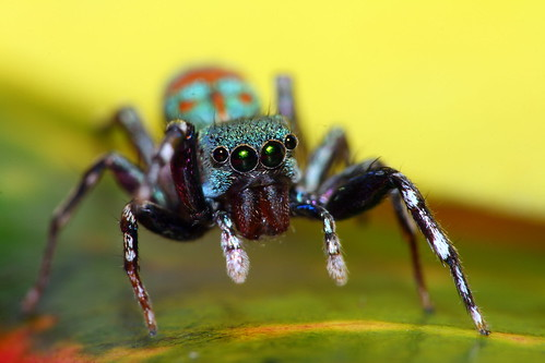 A colorful cute jumping spider. | by AgniMax