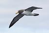 Chatham Albatross by Calidris!