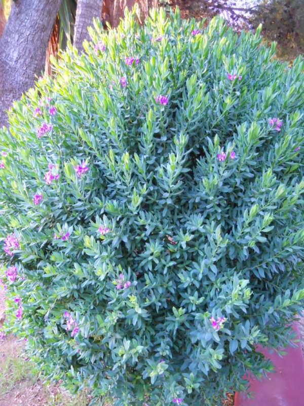Polygala myrtifolia v 2