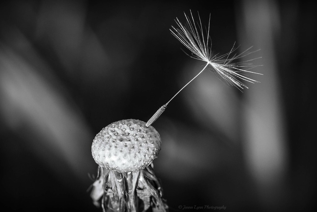 554072dba Hoding on... | This little dandelion seed was holding on pre… | Flickr