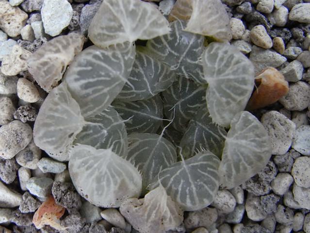 Haworthia cooperi v. pilifera fa. variegata 2