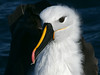 Yellow-nosed Albatross (Thalassarche chlororhynchos) by David Cook Wildlife Photography