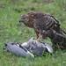 Flickr photo 'Goshawk killing Grey Heron' by: bayucca.