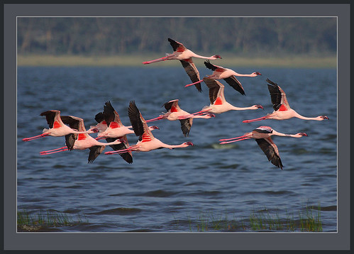 Lesser Flamingo in flight | by Rainbirder