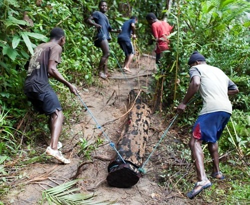 Rosewood Being Dragged to the River | by USAID Biodiversity & Forestry