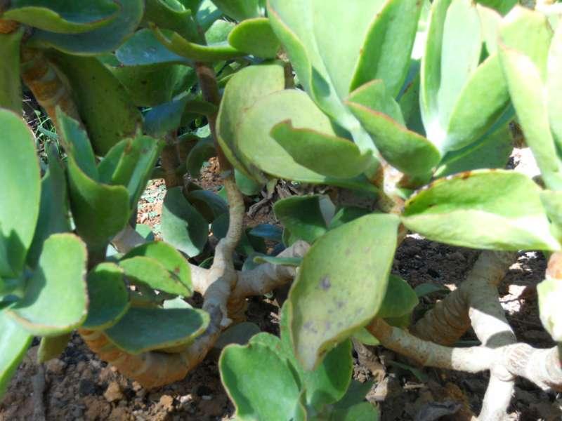 Echeveria gibbiflora 2
