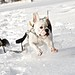 French Bulldog snow day January 2011 by vic_uu