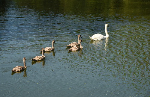 Young Swans In Tow   by HorsePunchKid