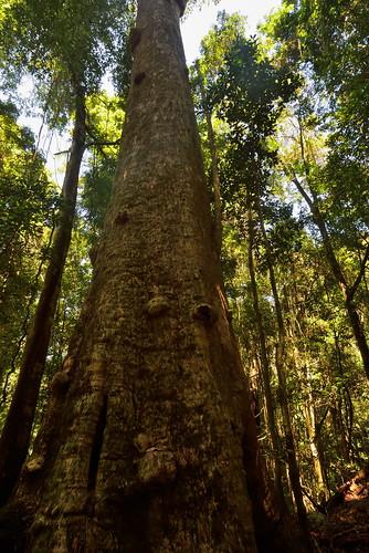 australia newsouthwales comboyne borgannanaturereserve rainforest