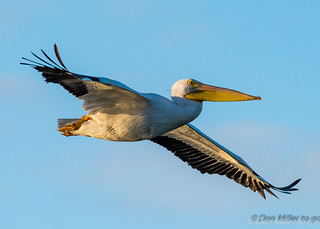American White Pelican | by DonMiller_ToGo