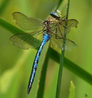 emperor dragonfly (5) | by The Photography of Simon Dell