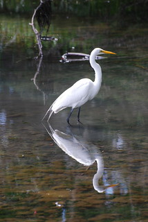 Great Egret  (ardea alba) | by dave and rose