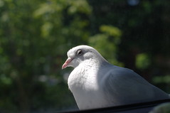 white dove outside my window