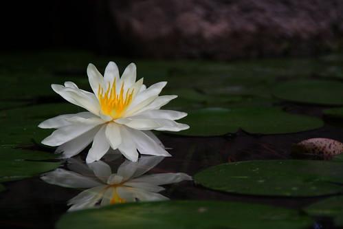 flower waterlilly lillyncnorthcarolinaftfisherftfisheraquariumcarolinabeachpond