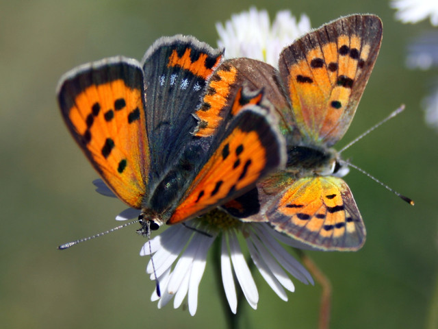 Butterflies Small Copper, Lycaena phlaeas - Braşov, Ro.