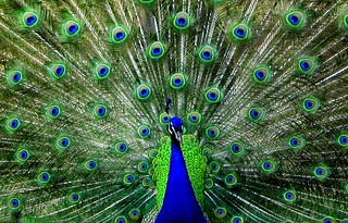 Peacock | by Ozgurmulazimoglu