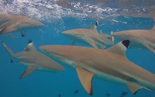 Bora Bora Sharks! | by jonrawlinson