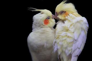 A love birds' kiss | by jinterwas
