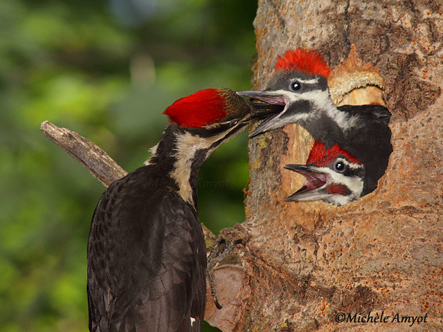 Jeune mâle et femelle et maman - Grand pic / Pileated woodpecker - Young male and female and mom