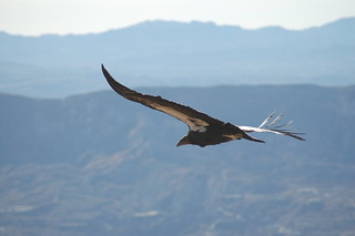 California condor #412 soars above the Los Padres National Forest | by USFWS Pacific Southwest Region