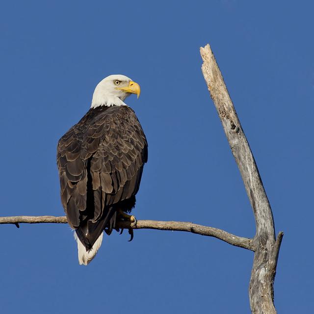 Griffith Abattoir Eagle