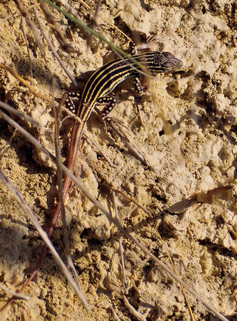 Acanthodactylus erythrurus (Schinz, 1833) / lagartija colirroja.