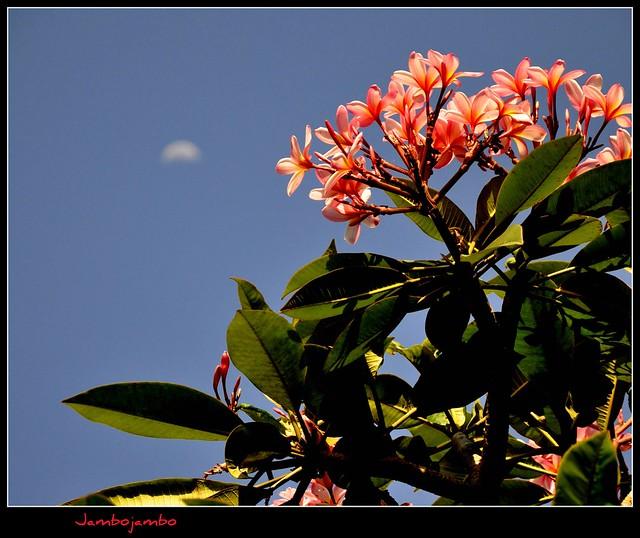 Magnolia a Mengwi