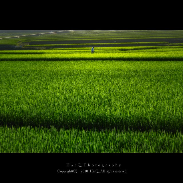 Summer Rice Field *