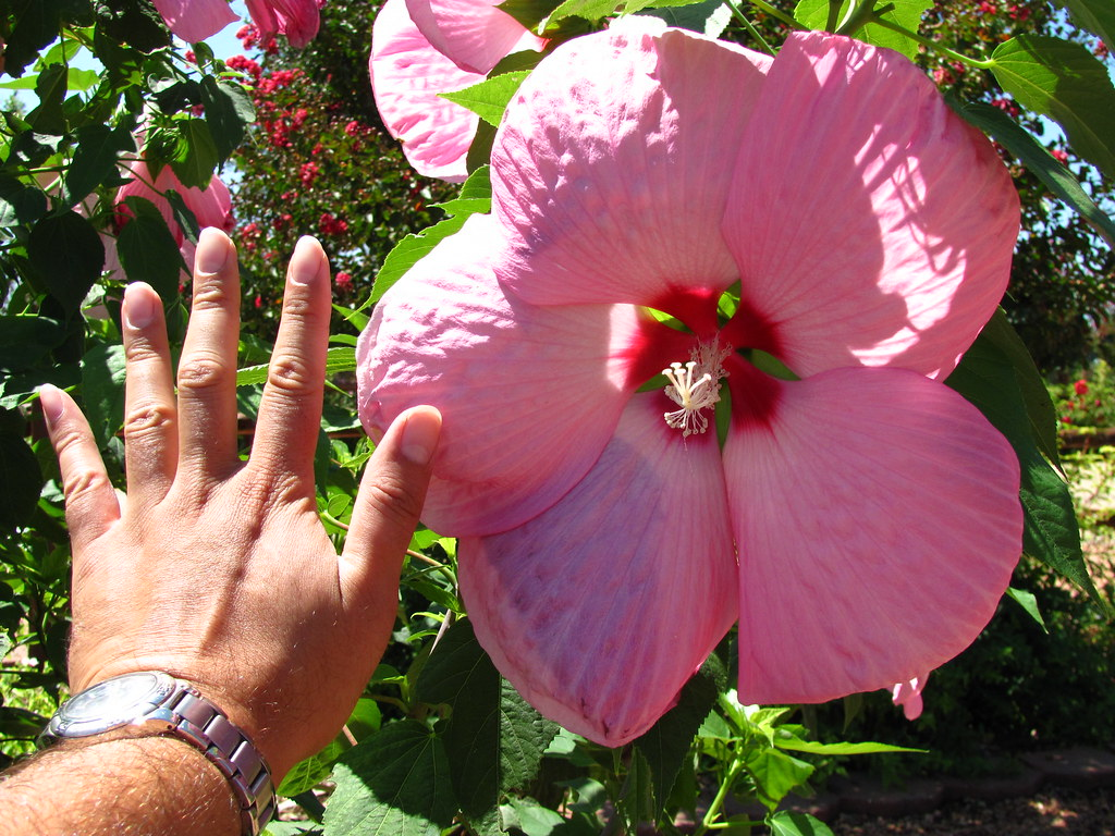 Pink Elephant Hibiscus A Pink Elephant Hibiscus Their Flo Flickr