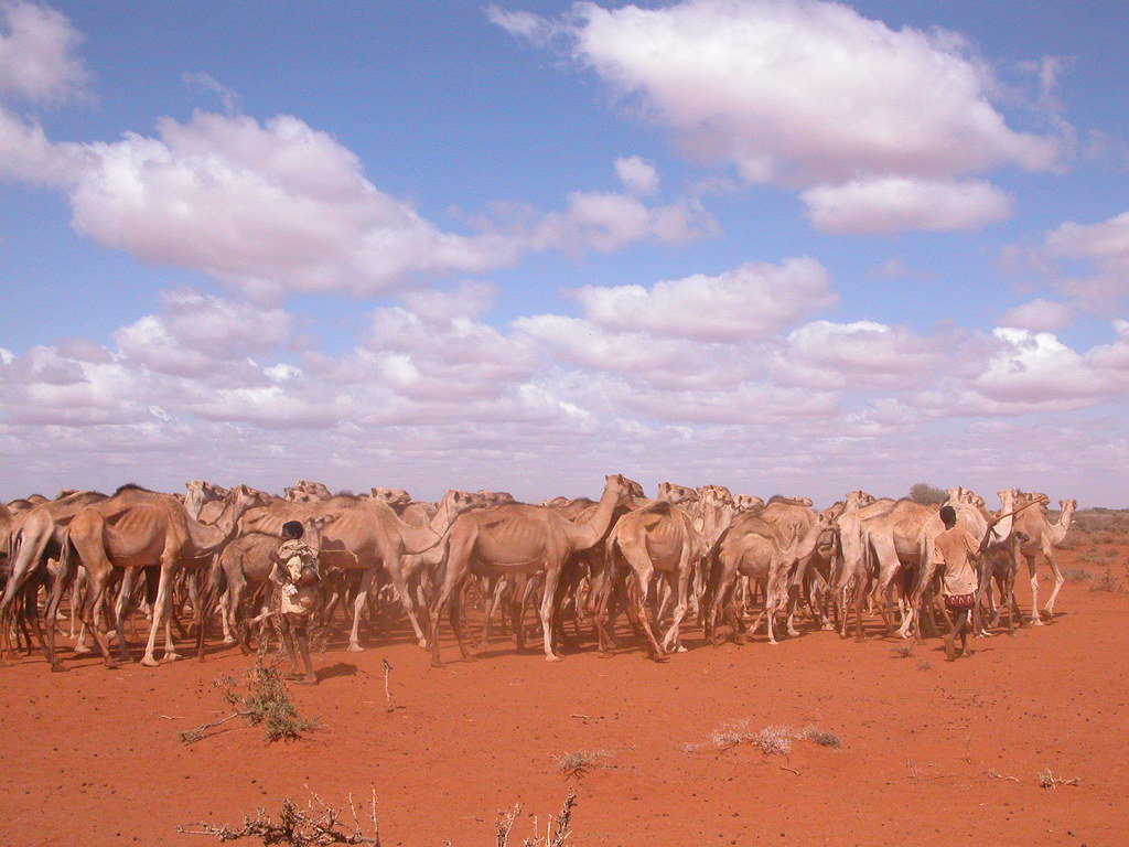 Herding the camels, Ogaden, Ethiopia | Ogaden, Somali Region