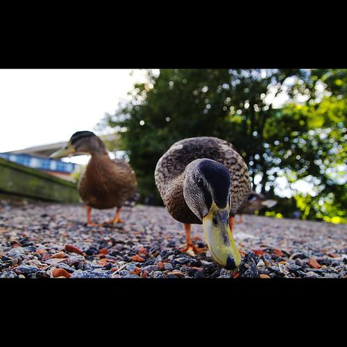 nature closeup canon duck ducks explore justforfun explored duckday sigma185028dcexmacro canon7d