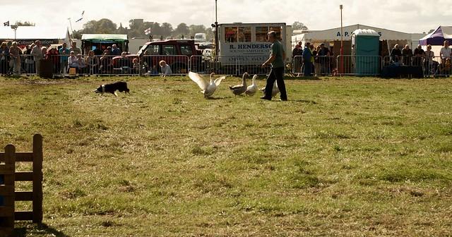 imgp1462 - Geese Herding