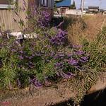 アメジストセージ / Salvia leucantha
