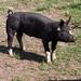 Cerdo Doméstico - Photo (c) Tim Sackton, algunos derechos reservados (CC BY-SA)