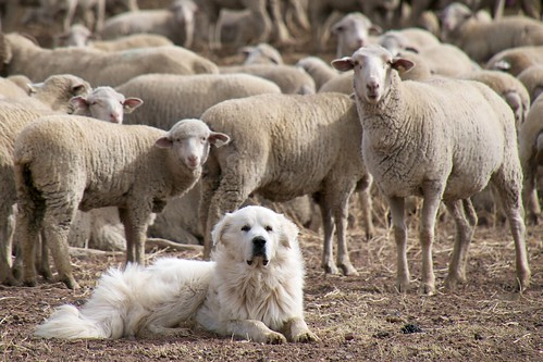 Great Pyrenees Sheep Dog Guarding the Flock   by donjd2