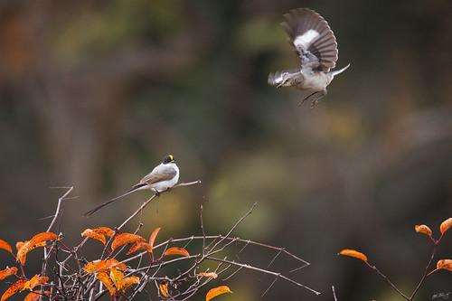nature birds canon wildlife 7d vagrant flycatcher wildbirds 600mm tyrannussavana forktailedflycatcher