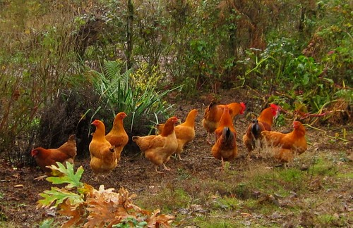 Young cockerels almost ready for the pot | by hardworkinghippy : La Ferme de Sourrou