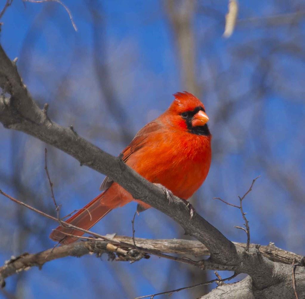 Little red bird against a clear blue New York sky | Gaetan Lee | Flickr