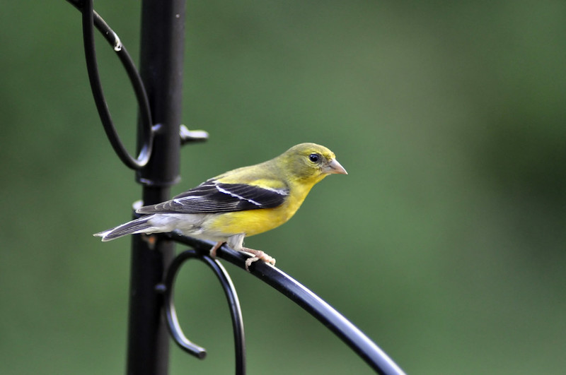 American Goldfinch on Perch