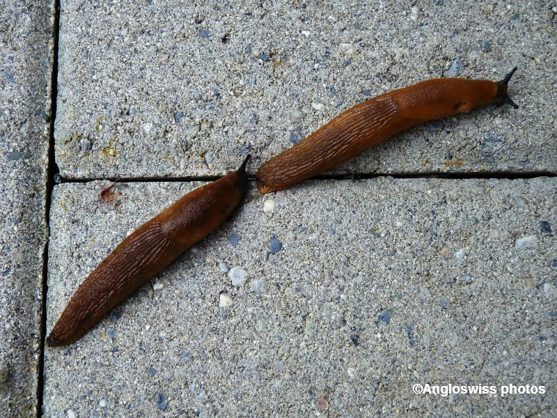 Two slugs going for a walk
