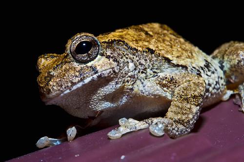 macro nature animals eyes nikon tennessee amphibian toads frog micro nikkor cherohalaskyway tellicoriver cherokeenationalforest d90 60mmmicro tellicoplains