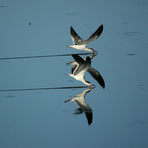 Black Skimmers | by Mike's Birds