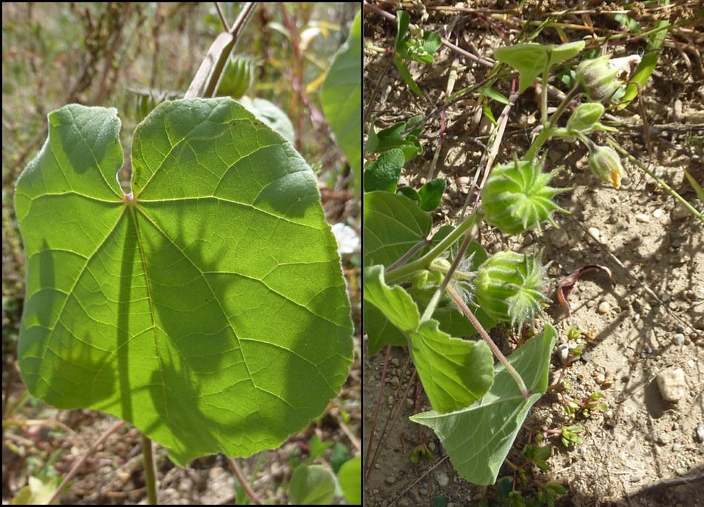 Abutilon Theophrasti Heart Shaped Leaves With Acuminate Ti Flickr