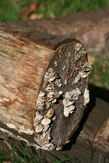 Fungus on wood | by jojo 77