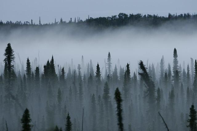 Misty Black Spruce Forest