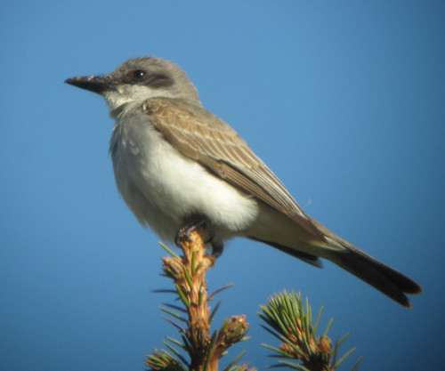 Gray Kingbird, Marginal Way, Ogunquit, October 31, 2010