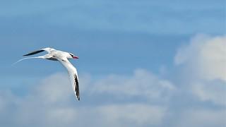 Red-billed Tropicbird | by VSmithUK