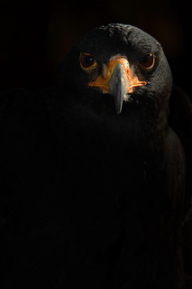 Black Eagle | by Another Timothy