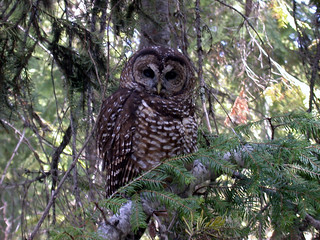Threatened northern spotted owl (Strix occidentalis caurina) | by USFWS Endangered Species